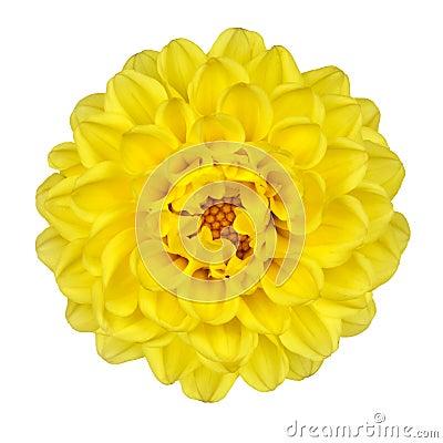 Free Dahlia Flower Yellow Petals Isolated On White Royalty Free Stock Photo - 22465375