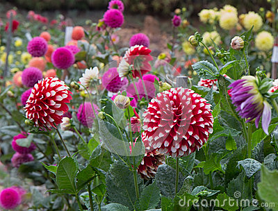 Dahlia Garden Stock Photo Image 44789756