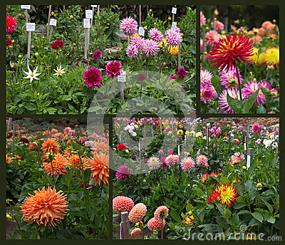Dahlia Garden Royalty Free Stock Photos Image 32546338
