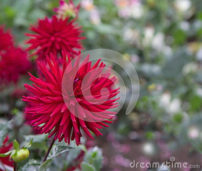 Dahlia Garden Stock Photo Image 44787841
