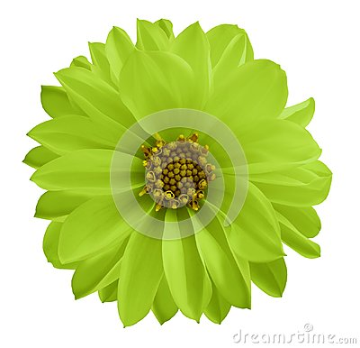 Free Dahlia Green-yellow Flower  On A White Isolated Background With Clipping Path.  Closeup No Shadows. Garden  Flower. Stock Photo - 109559670