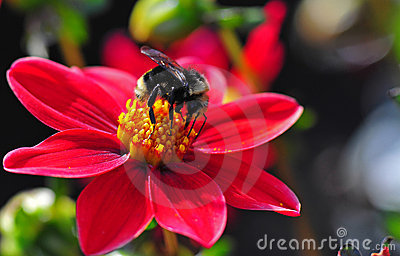 Dahlia Honey Bee