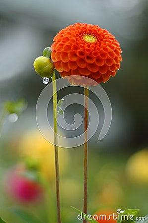 Free Dahlia In Rain Royalty Free Stock Photo - 210725