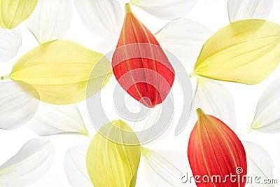 Dahlia petal