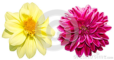 Dahlia in a white background