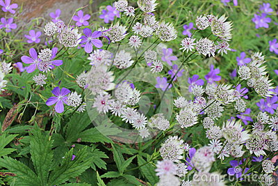 Dainty Blue and White Flowers, England.