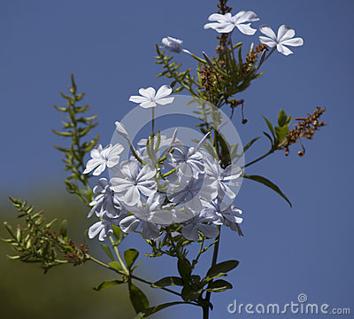 Dainty pale white flowers of plumbago
