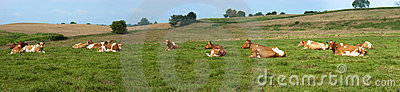 Dairy Cows Pasture Field Banner Panorama Panoramic