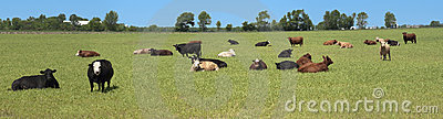 Dairy Cows Pasture Field Banner Panorama Panoramic