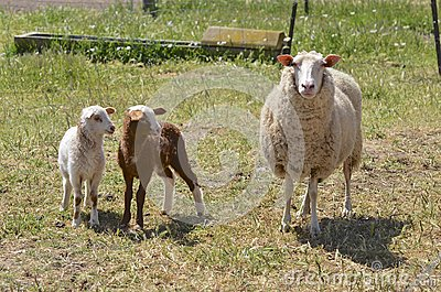 Dairy sheep with lambs in Australia