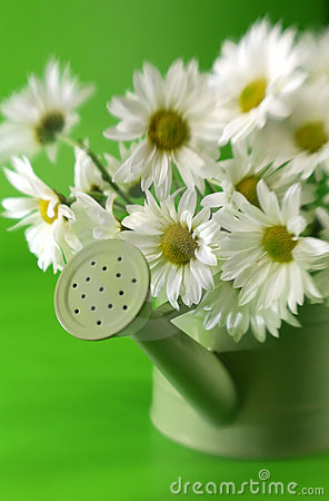 Free Daises In Watering Can Royalty Free Stock Image - 4836786