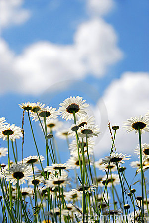 Free Daises With Blue Sky Royalty Free Stock Photography - 858977