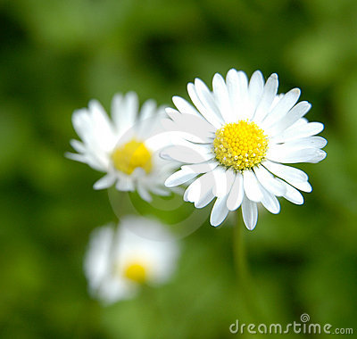 Free Daisies Royalty Free Stock Photos - 165698
