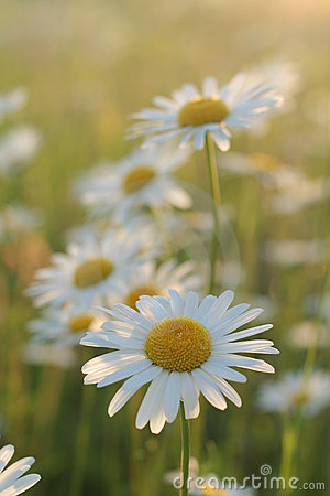 Free Daisies Stock Photo - 983390