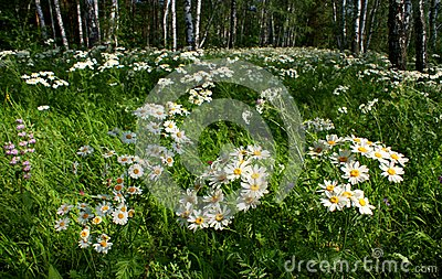 Daisies in a birch grove