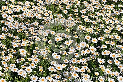 Daisies garden