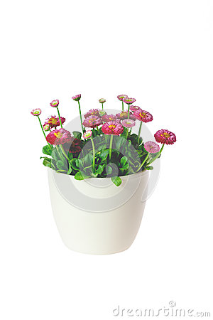Free Daisies In A Pot Royalty Free Stock Images - 53187309