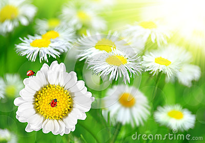 Daisies with ladybugs