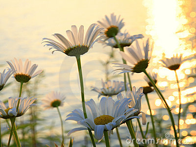 Daisies on a lakeshore at sunset