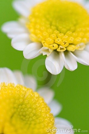 Daisies macro