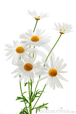 Free Daisies On White Background Royalty Free Stock Image - 5223186