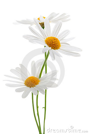 Free Daisies On White Background Royalty Free Stock Photo - 5223215