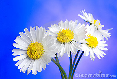 Daisies over blue