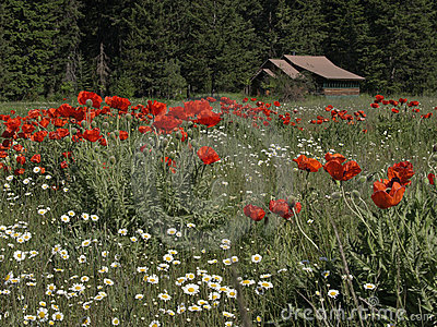 Daisies, Poppies, and a Cabin