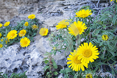 Daisies on rocky soil