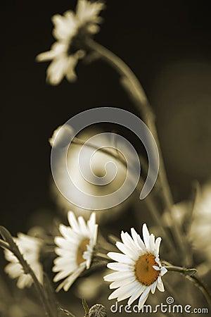 Daisies in sepia