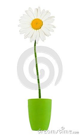 Daisies summer white flower