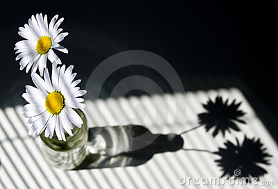 Daisies by a Window with Blinds