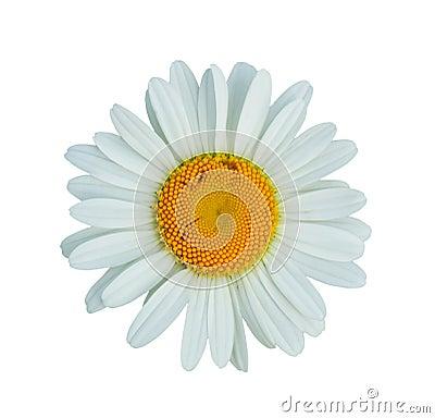 Free Daisy Stock Image - 10020471