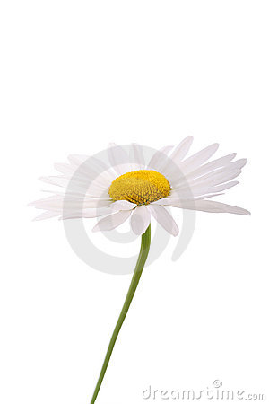 Free Daisy Stock Images - 2624874