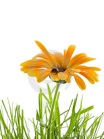 Free Daisy Royalty Free Stock Images - 2659119