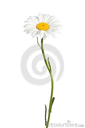 Free Daisy Royalty Free Stock Photos - 29520748