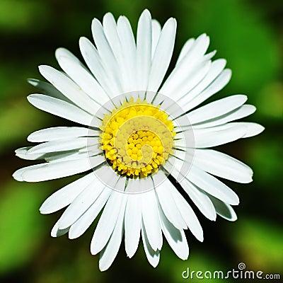 Free Daisy Royalty Free Stock Photo - 4966385