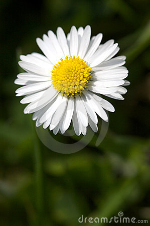 Free Daisy Stock Images - 5179174