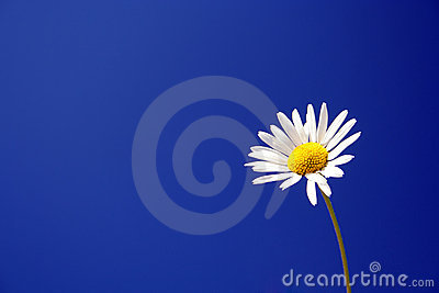 Daisy against a blue sky