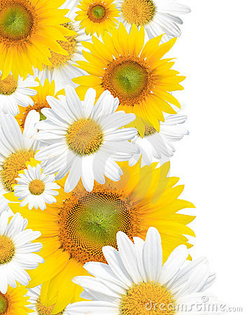 Daisy Background, Summer or Spring Seasonal