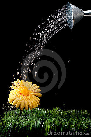 Daisy being watered on black