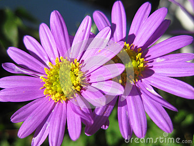 Bright purple and yellow daisy flowers