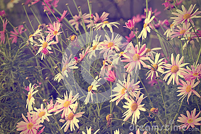 Daisy bush flower abstract background