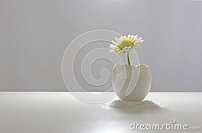 Daisy In Eggshell