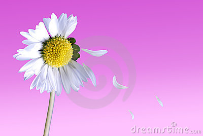Daisy with falling petals