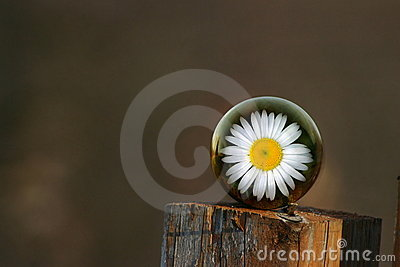 Daisy on fence post