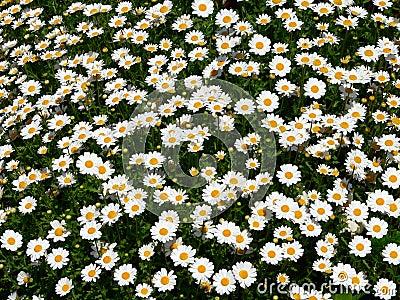 Daisy field (Bellis Perennis)
