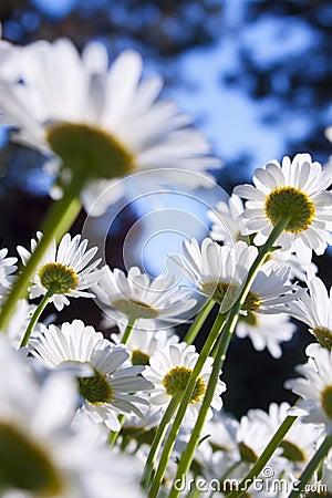 Daisy Field Blur