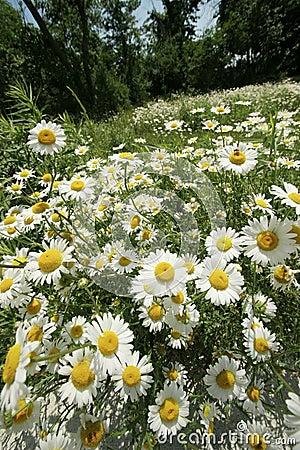 Free Daisy Field In Summer Stock Photos - 5116183