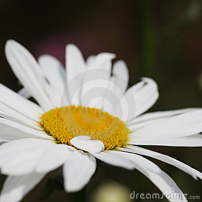 Free Daisy Flower Royalty Free Stock Photography - 10725887